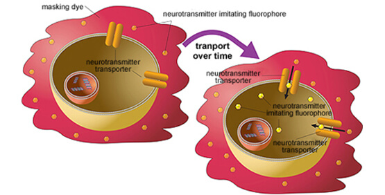 Prinzip des Neurotransmitter Assay