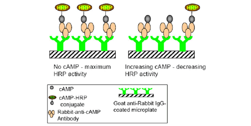 cAMP-Assays (GPCR)